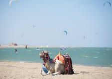 Camello en una playa con las personas que practica surf de la cometa Fotografía de archivo