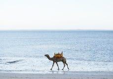 Camello en una playa, Kenia Fotos de archivo libres de regalías