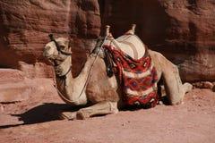 Camello ensillado Imagen de archivo