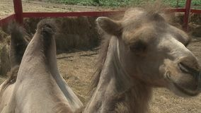 Camello filmado en el parque zoológico almacen de metraje de vídeo