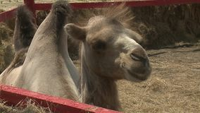Camello filmado en el parque zoológico almacen de video