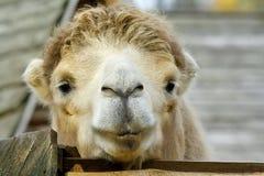 Camello grande principal en el parque zoológico rural Foto de archivo libre de regalías
