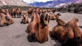 Camello humped doble Imagenes de archivo