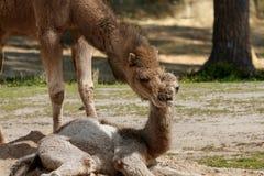 Camello joven que miente en la tierra y un adulto del camello Foto de archivo libre de regalías