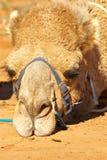 Camello malhumorado Imagen de archivo