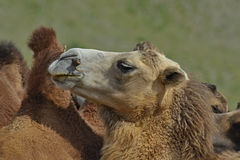 Camello, Mongolia Imágenes de archivo libres de regalías