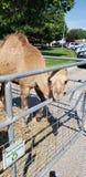 Camello mullido imagenes de archivo