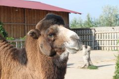 Camello - nave del desierto foto de archivo