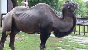 Camello - parque zoológico de Belgrado almacen de video