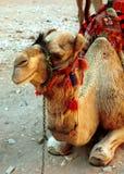 Camello, Petra, Jordania Foto de archivo libre de regalías