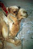 Camello, Petra, Jordania Imagen de archivo
