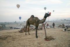 Camello Pushkar justo 2015 Imagenes de archivo