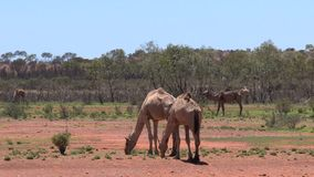 Camello que camina en el interior de Australia