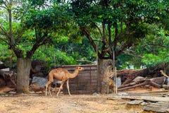 Camello que camina en el parque zoológico. foto de archivo