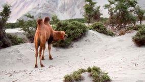 Camello que come la hierba