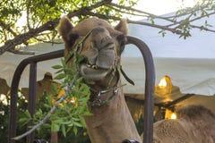 Camello que come una rama Foto de archivo libre de regalías