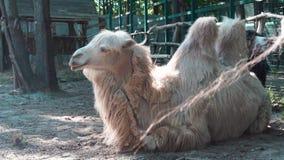 Camello que descansa en la pajarera almacen de video