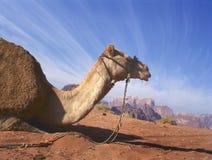 Camello que descansa en Wadi Rum imagen de archivo libre de regalías