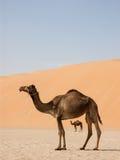 Camello que enmarca otro Fotos de archivo