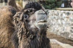 Camello que habla Imágenes de archivo libres de regalías