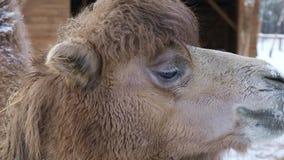 Camello que mastica el heno almacen de metraje de vídeo