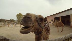 Camello que mastica el tiro del PDA almacen de metraje de vídeo