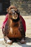 Camello que miente en una demostración Imagen de archivo