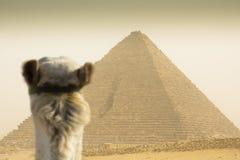 Camello que mira la pirámide de Cheops Imagen de archivo