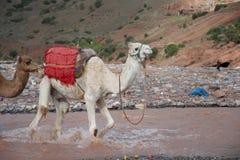 Camello que salpica a través de una corriente fotos de archivo