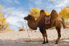 Camello que se coloca en el desierto Imagen de archivo libre de regalías