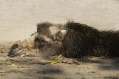 Camello que se reclina sobre la arena foto de archivo