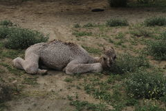 Camello recién nacido del bebé Foto de archivo