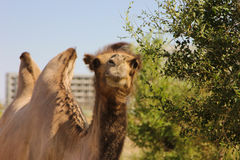 Camello salvaje Fotografía de archivo