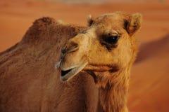 Camello salvaje Imagenes de archivo