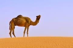 Camello solamente en desierto Imagen de archivo libre de regalías