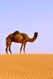 Camello solamente en desierto imagen de archivo
