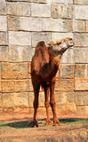 Camello sonriente Imágenes de archivo libres de regalías