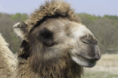 Camello Two-Humped Imagen de archivo libre de regalías