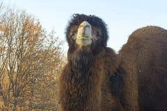 Camello two-humped grande Foto de archivo libre de regalías
