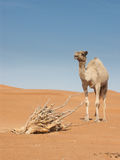 Camello y árbol muerto Imagenes de archivo