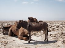 Camello y burro en el desierto fotos de archivo