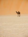 Camello y duna grande Imágenes de archivo libres de regalías