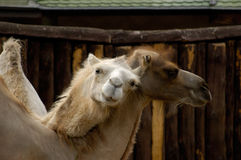 Camellos foto de archivo