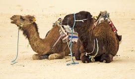 Camellos Fotos de archivo