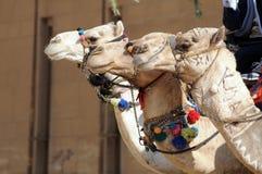 Camellos Imagen de archivo libre de regalías