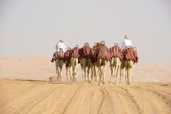 camellos Fotografía de archivo libre de regalías