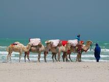 Camellos Imágenes de archivo libres de regalías