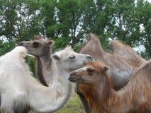 camellos Fotografía de archivo