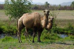 Camellos, animales, agricultura, prado, pasto Foto de archivo libre de regalías