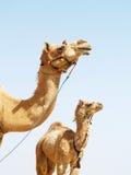 Camellos asiáticos Foto de archivo libre de regalías